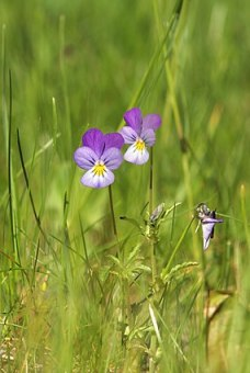 viola tricolor or love in idleness